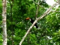 Toucan_in_the_tree