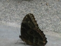 commonmorpho
